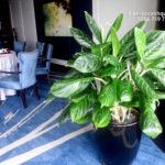 Cho thuê cây nội thất khách sạn 5 sao Lotte Center Hà Nội