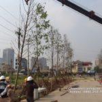 Trồng cây xanh đường phố khu đô thị The Manor Hà Nội