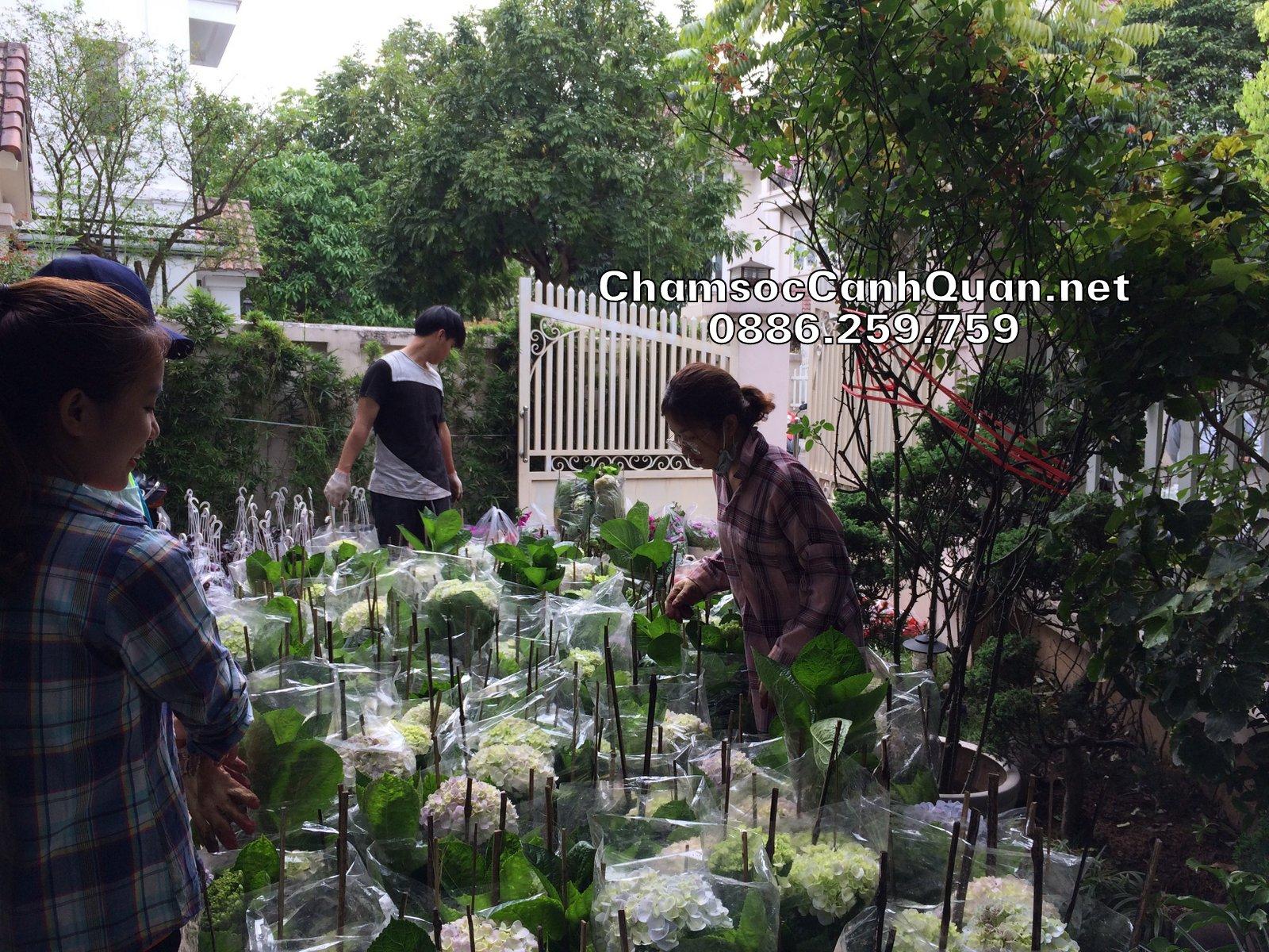 Hoa cẩm tú cầu tđược vận chuyển đến để trồng trong sân vườn