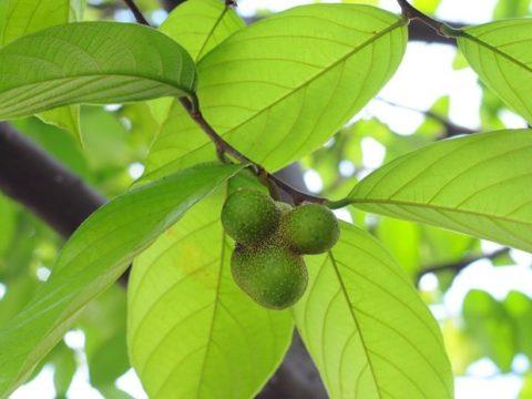 Cây chay trồng biệt thự