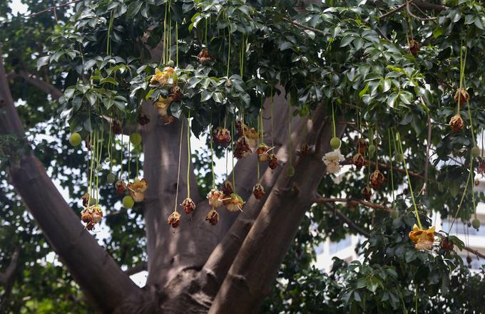 Cây Bao Báp