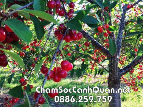 Cây cherry
