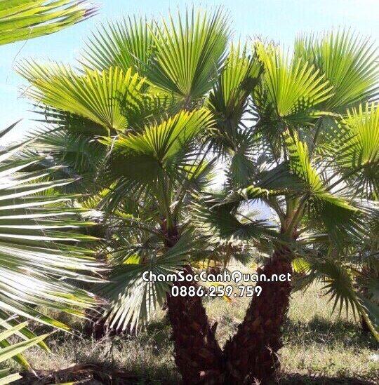 cây cọ mỹ công trình
