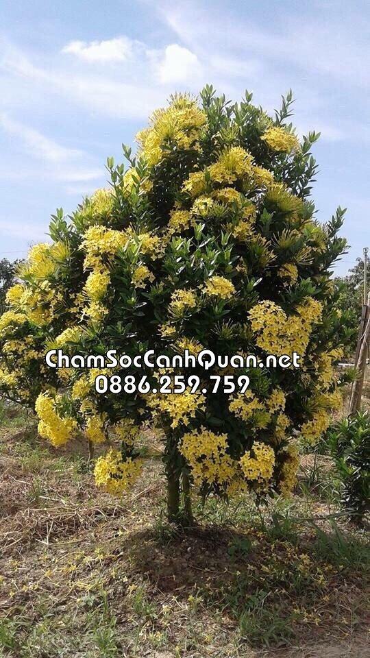 Cây mẫu đơn hoa vàng sân vườn