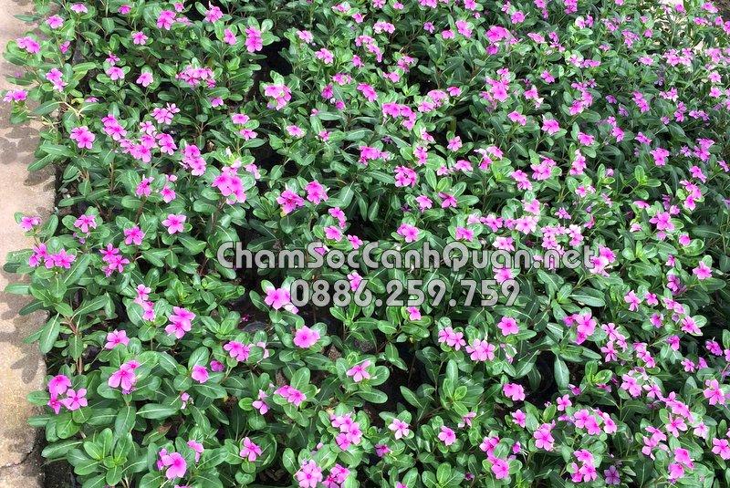 Cây hoa theo mùa dừa cạn ta