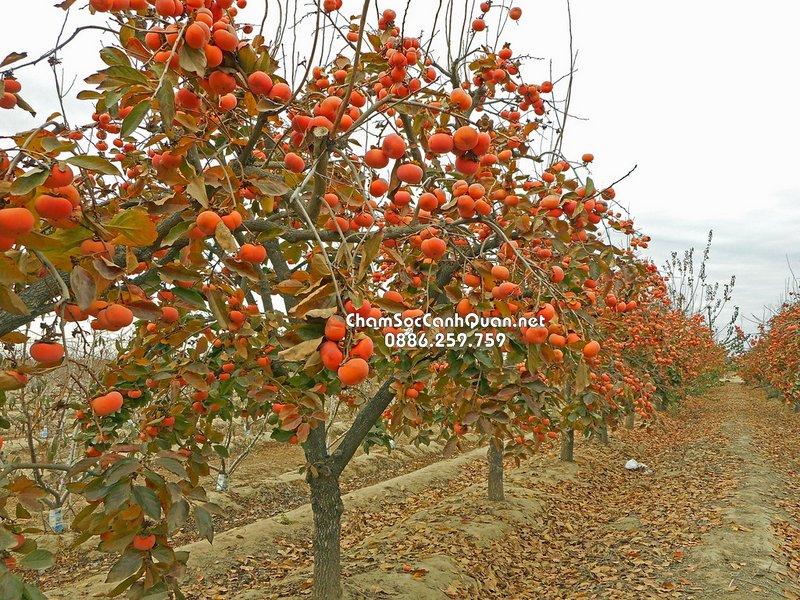 Cây hồng ăn trái trồng biệt thự
