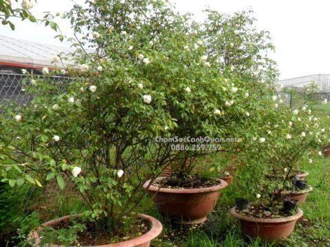 Cây hồng bạch cổ trồng biệt thự