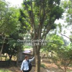 Cây hồng bì trồng biệt thự