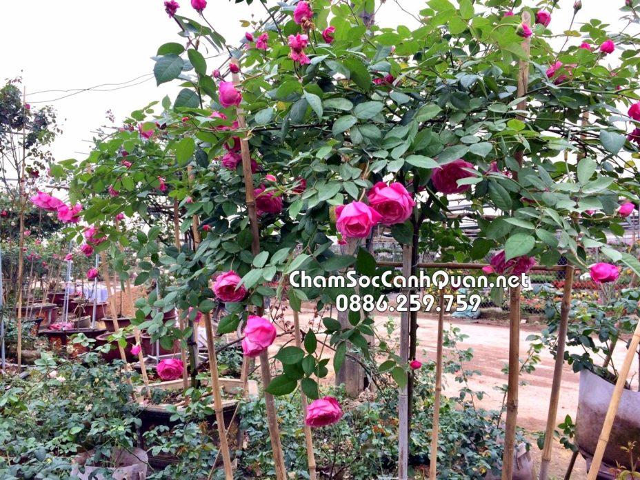 Cây hồng cổ Sapa