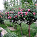 Cây hồng tree rose – SalalaGreen