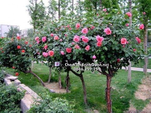 Cây hồng tree trồng sân vườn