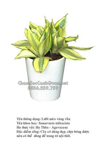 Sansevieria trifasciata var. hahnii Hort
