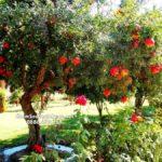 Cây lựu quả