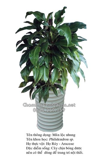 Philidendron sp