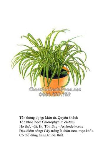 Chlorophytum elatum R. Br