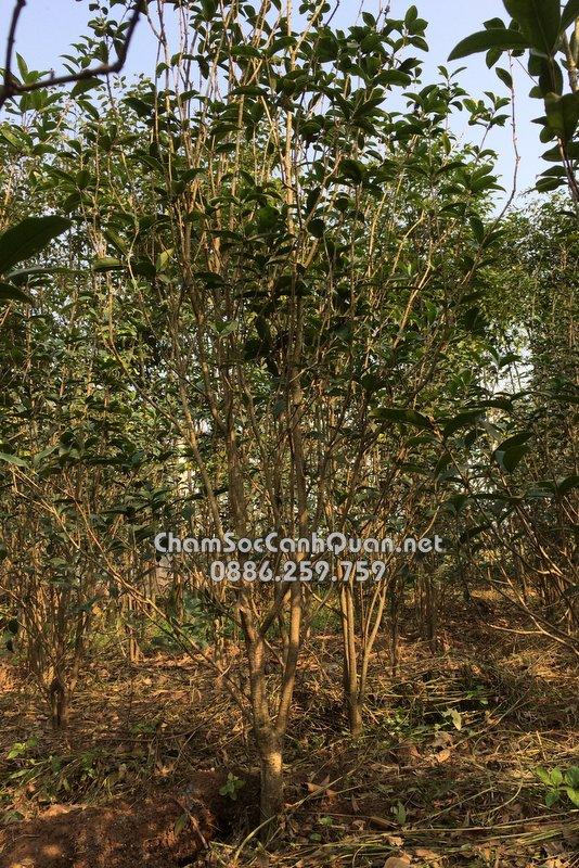 Cây Mộc Hương