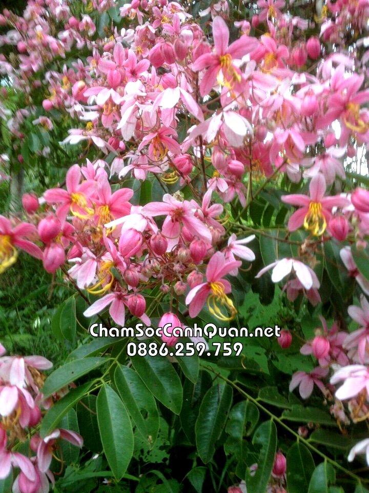 Hoa Muồng hoa đào