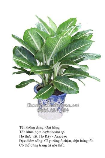 Aglaoocma thuộc họ Araceae.