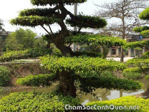 Cây Sanh dáng trực trồng biệt thự