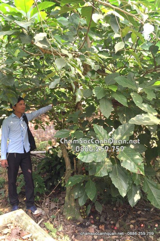 Cây vả trồng biệt thự đẹp