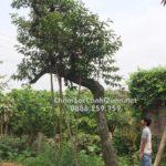 Cây vối trồng biệt thự