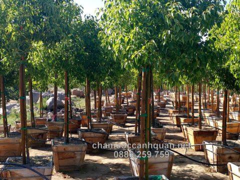 Cây Long nõa trồng công trình