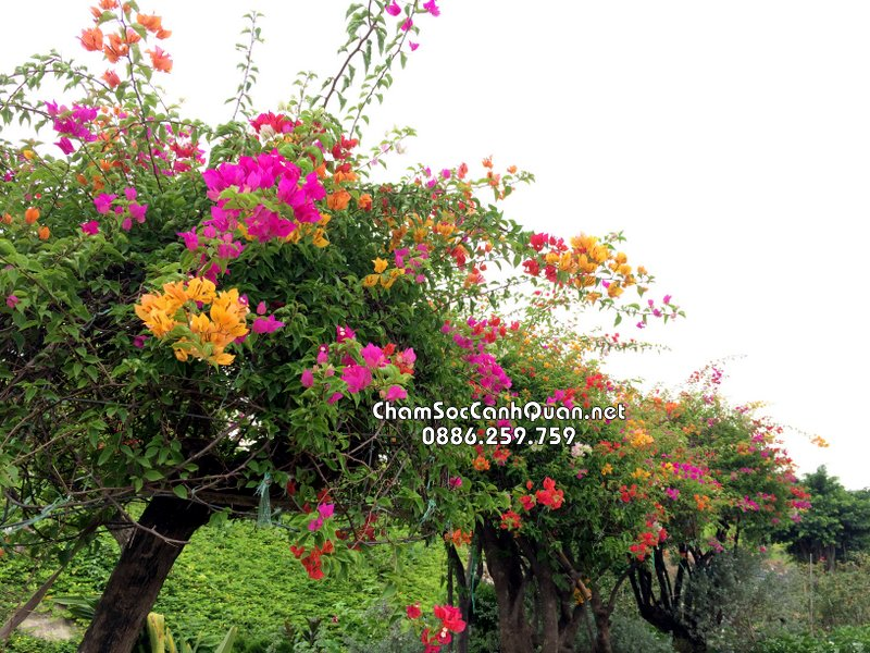 Hoa Giấy nhiều màu