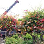 Cây hoa giấy nhiều màu trồng biệt thự – SalalaGreen