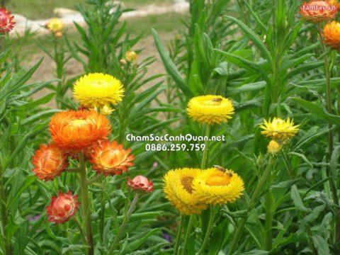 Cây hoa cúc bất tử