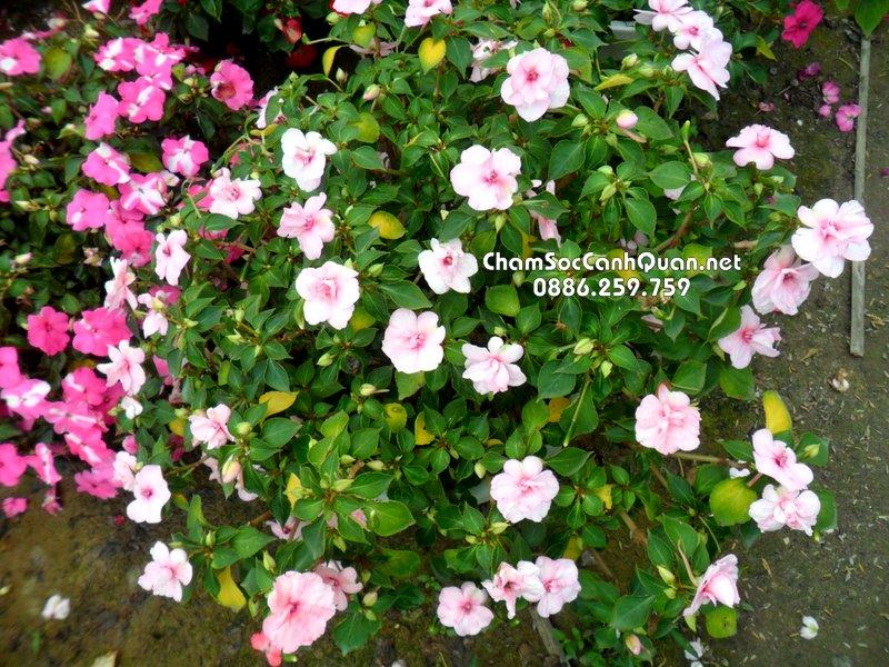 Hoa Ngọc Thảo