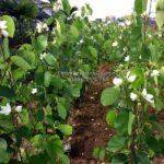Cây Hoa Ban Trắng – Loài hoa tượng trưng cho tình yêu vùng Tây Bắc