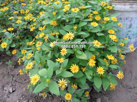 Cây hoa cúc mặt trời
