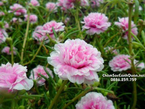 Cây hoa mười giờ mỹ