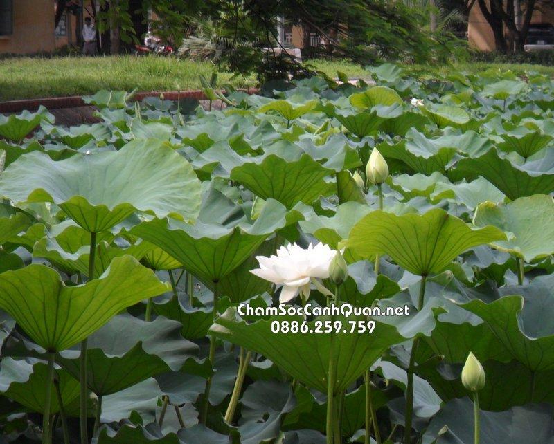 Cây hoa sen trắng