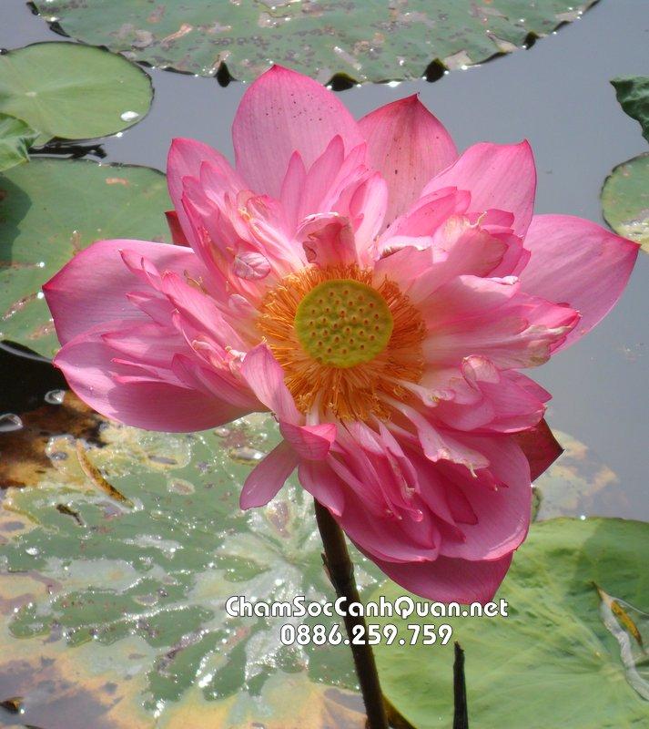 Cây hoa sen có nhiều lớp cánh