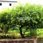 Cây Sơ ri – Loại cây cho quả ngon được nhiều người ưa thích