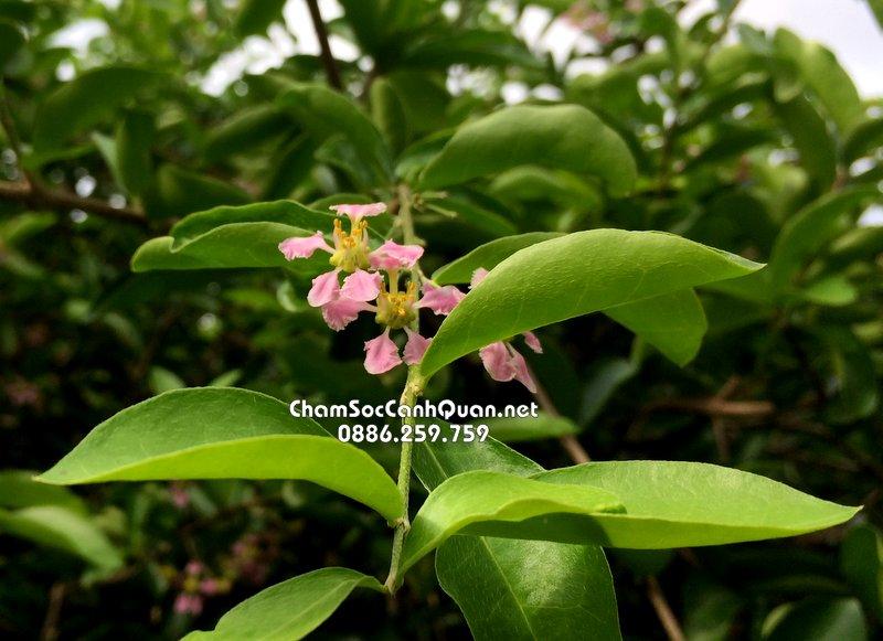 Hoa cây sơ ri