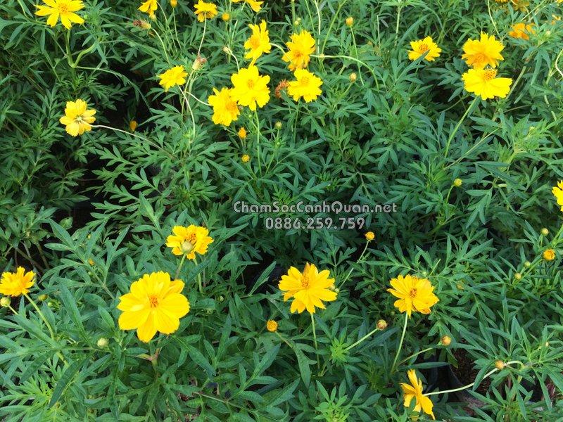 Hoa Cúc Cánh Bướm Vàng