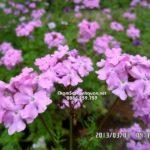 Cây hoa cúc Indo