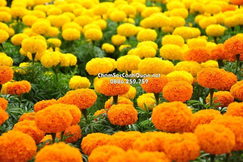 Hoa cúc vạn thọ Pháp