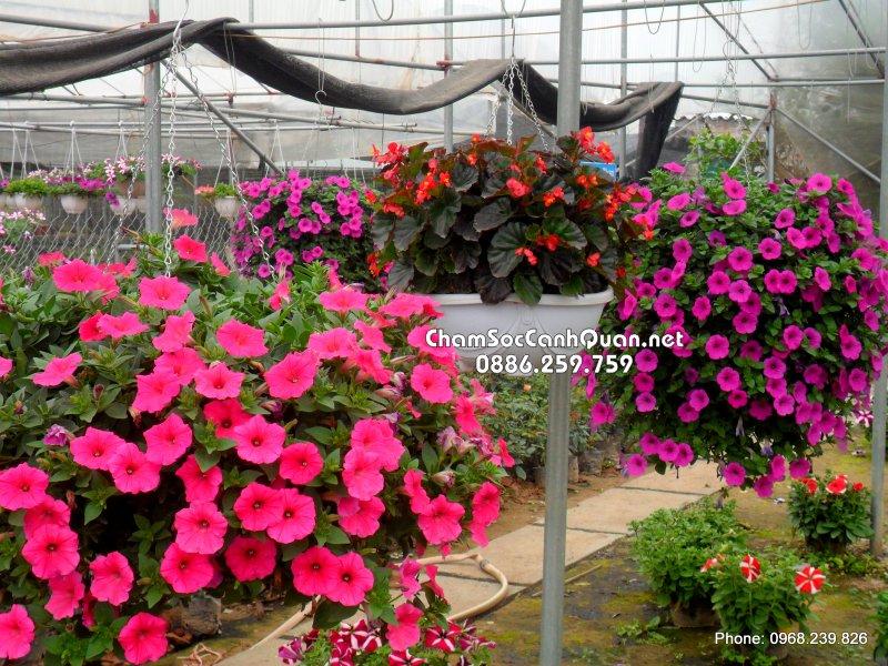 Chậu hoa Hoa Dã Yến Thảo rủ