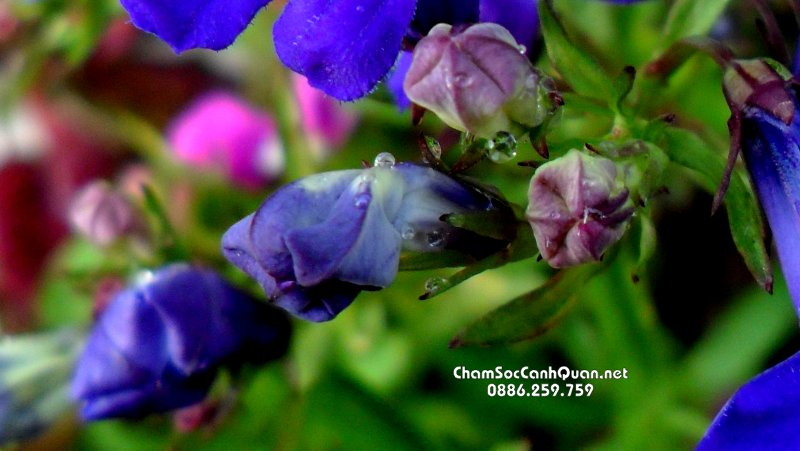 Hoa Loberia