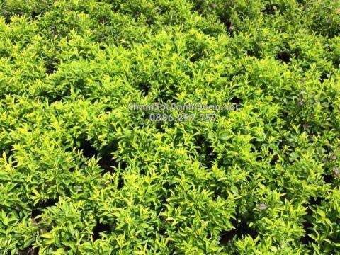 Cây chuỗi ngọc trồng viền