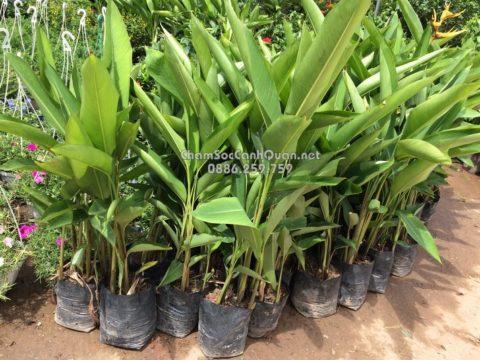 Cây chuối thiên điểu trồng sân vườn