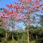 Cây kèn hồng ( chuông hồng)