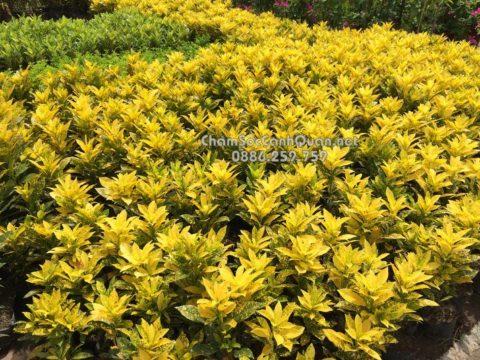 Cây lá màu vàng anh