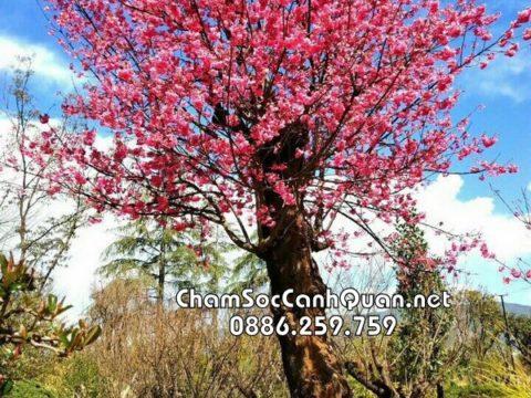 Cây hoa anh đào Nhật Bản