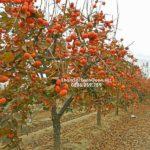 Cây hồng quả