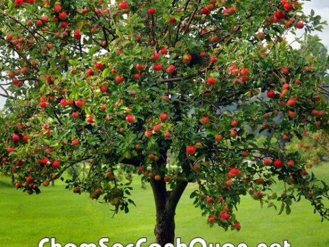 Cây táo tây biệt thự