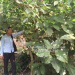 Cây vả trồng biệt thự